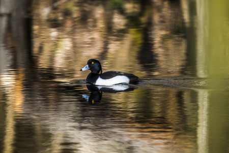 tufted: A tufted duck on the water Stock Photo