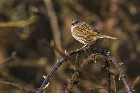 feathering: A dunnock is sitting on a branch Stock Photo