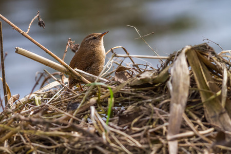 feathering: A wren is sitting on a branch Stock Photo