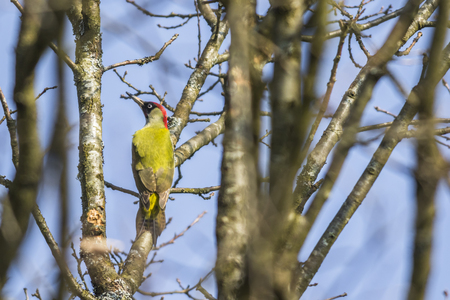 nickle: A green woodpecker is sitting on a tree