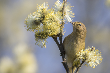 feathering: A common chiffchaff is sitting on a branch Stock Photo