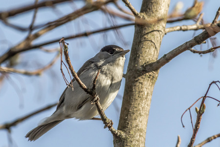 feathering: A blackcap is sitting on a branch Stock Photo