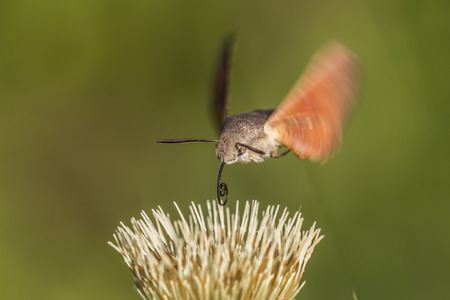 shrubbery: A hummingbird hawkmoth suckles on a flower