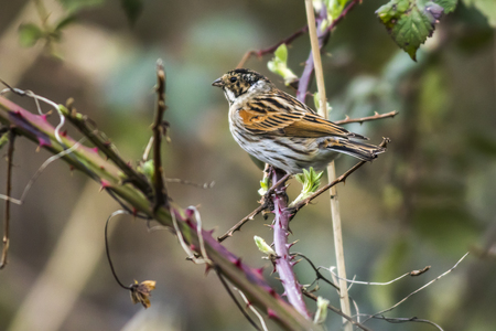 feathering: A reed bunting is sitting on a branch