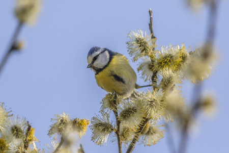 feathering: A bluetit is sitting on a branch