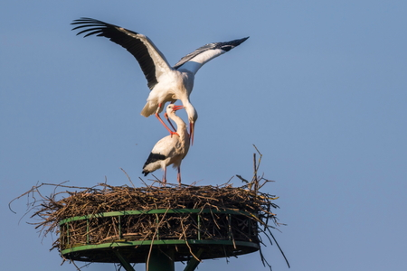 feathering: Two white storks by the pairing