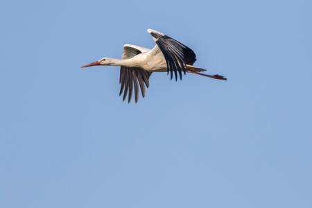 feathering: A white stork in flight Stock Photo