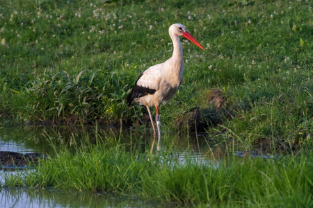 fodder: A white stork is searching for fodder