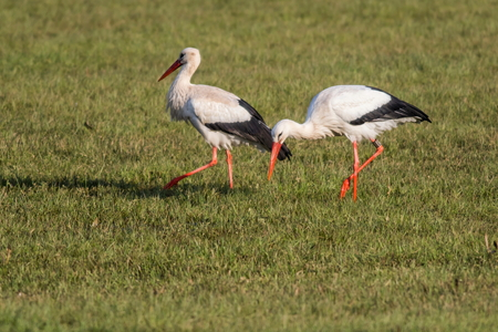 fodder: Two white storks are searching for fodder on a meadow