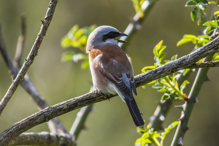feathering: A red-backed shrike is sitting on a branch and looks for fodder