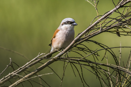 fodder: A red-backed shrike is sitting on a branch and looks for fodder