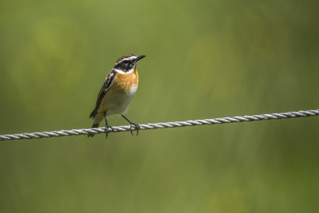 song bird: A whinchat is sitting on a tightrope