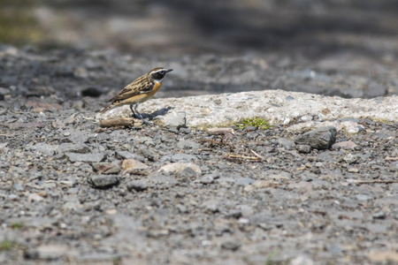 fodder: A whinchat is searching for fodder Stock Photo