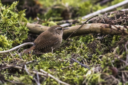 feathering: A wren searchs branches for nestbuilding