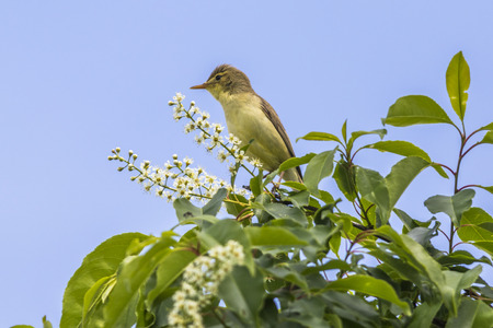 melodious: A singing melodious warbler on a shrub