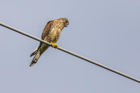 powerline: A common krestel on a powerline looks for prey Stock Photo