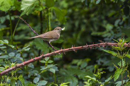 ruiseñor: Un ruiseñor común en el arbusto está sentado en una rama Foto de archivo