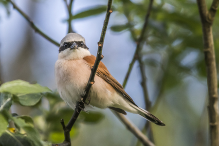 fodder: A red-backed shrike on a branch is searching for fodder