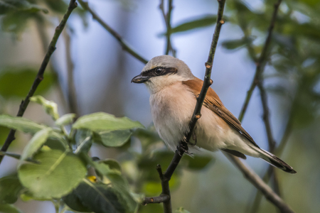 searching for: A red-backed shrike on a branch is searching for fodder