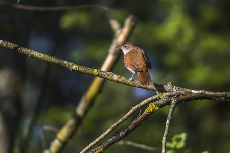 ruise�or: A common nightingale in the shrub is sitting on a branch