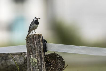 fencepost: A white wagtail stays on a fencepost Stock Photo