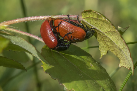 feeler: A couple of red poplar leaf beetles by the pairing