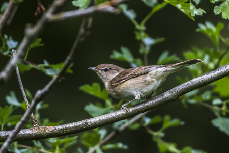 bough: A garden warbler is sitting on a branch