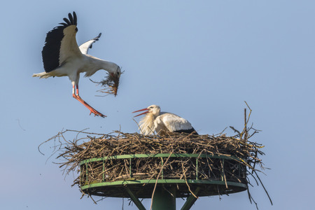 feathering: A white stork by nest-building