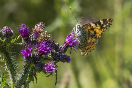 cosmopolitan: A cosmopolitan butterfly on a thistle Stock Photo