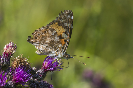 A cosmopolitan butterfly on a thistle Stock Photo