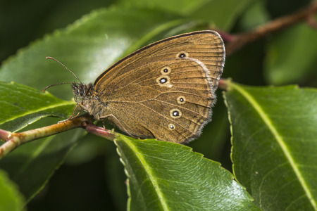 A meadow brown is sitting on a leave