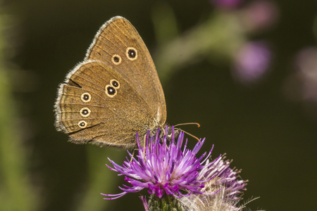 A meadow brownis sitting on a thistle