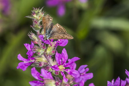sooty: A sooty copper on a purple flower Stock Photo