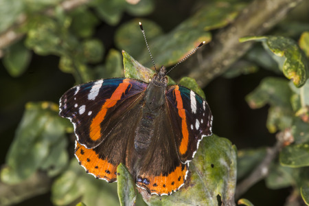 admiral: A red admiral is sitting on a leave