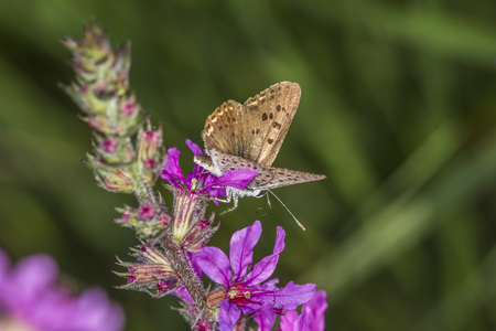 lycaena: A sooty copper on a purple flower Stock Photo
