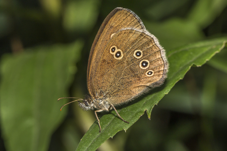 A meadow brown on a green leave Stock Photo
