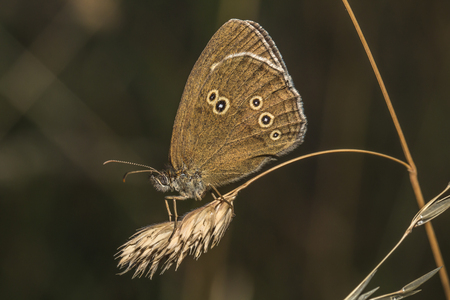 A meadow brown is sitting on a grass-stock