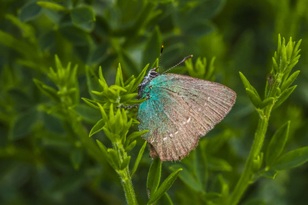 coppers: A green hairstreak is sitting on a branch