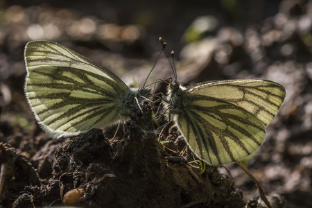 pieris: Two  green-veined whites against the light