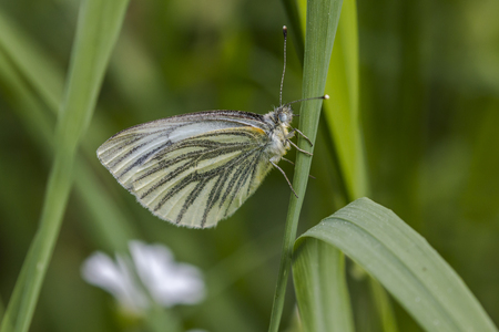 pieris: A green-veined white is sitting on a grass-stock Stock Photo