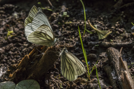 veined: Green-veined whites against the light Stock Photo