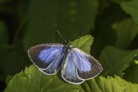 coppers: A silver-studded blue is sitting on a leaf