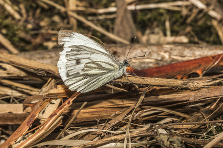 veined: A green-veined white is sitting on a grass-stock Stock Photo