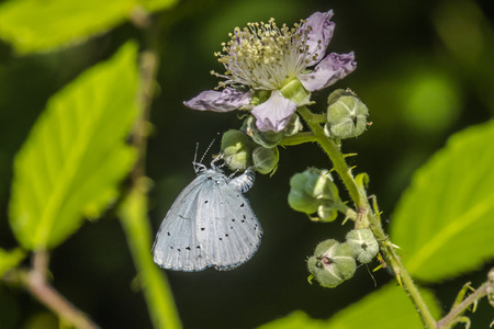 coppers: A hill hedge blue is sitting on a flower