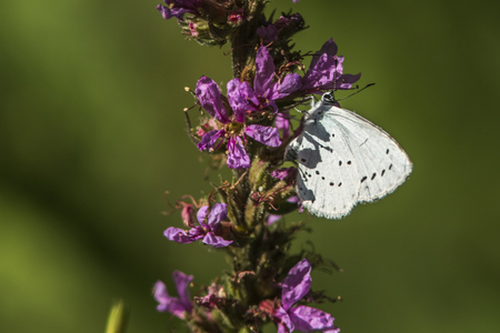 lycaenidae: A hill hedge blue is sitting on a flower