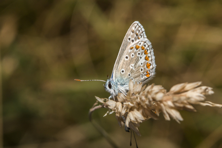 common blue: A common blue is sitting on a grass-stock