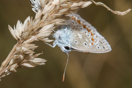 polyommatus: A common blue is sitting on a grass-stock