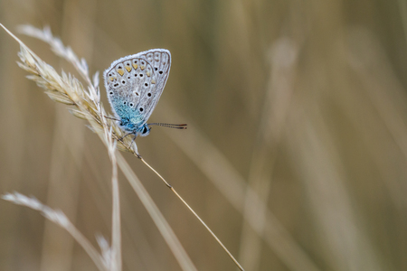 lycaenidae: A common blue is sitting on a grass-stock