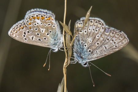 common blue: A couple of common blue by the pairing