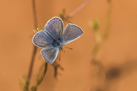polyommatus icarus: A common blue is sitting on a grass-stock